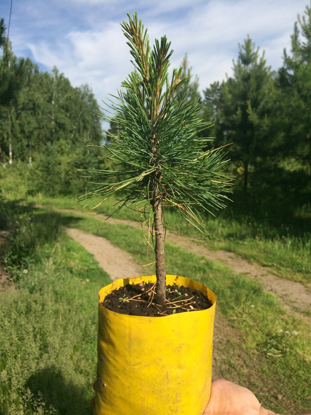 Кедровая сосна сибирская выращивание 94