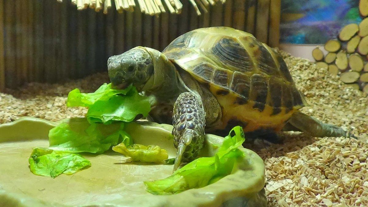 Кормление сухопутными черепахами в домашних условиях 31