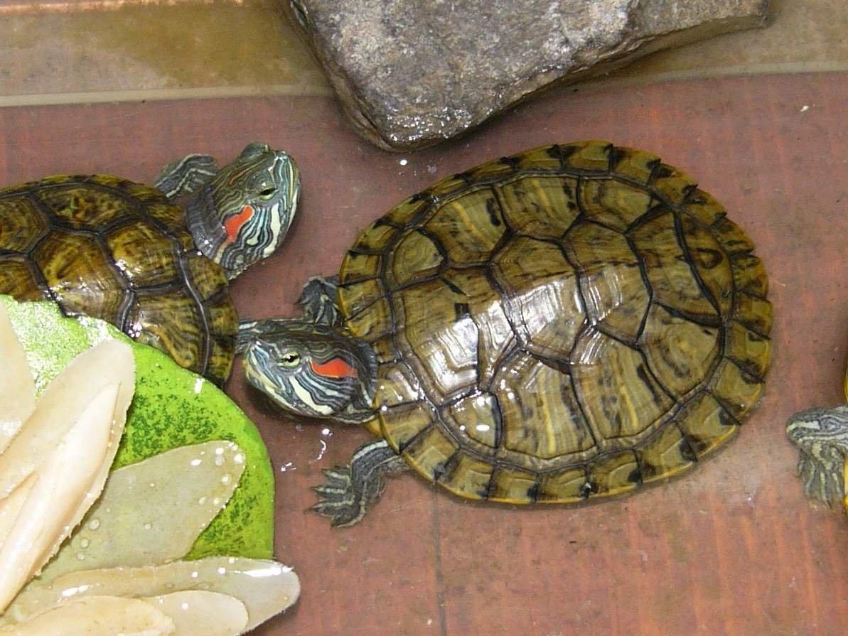 Как выглядит беременная красноухая черепаха 100