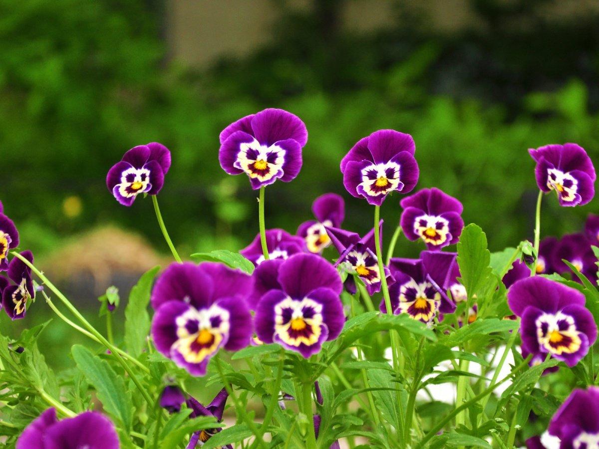 Совет 1: Как вырастить анютины глазки из семян 87
