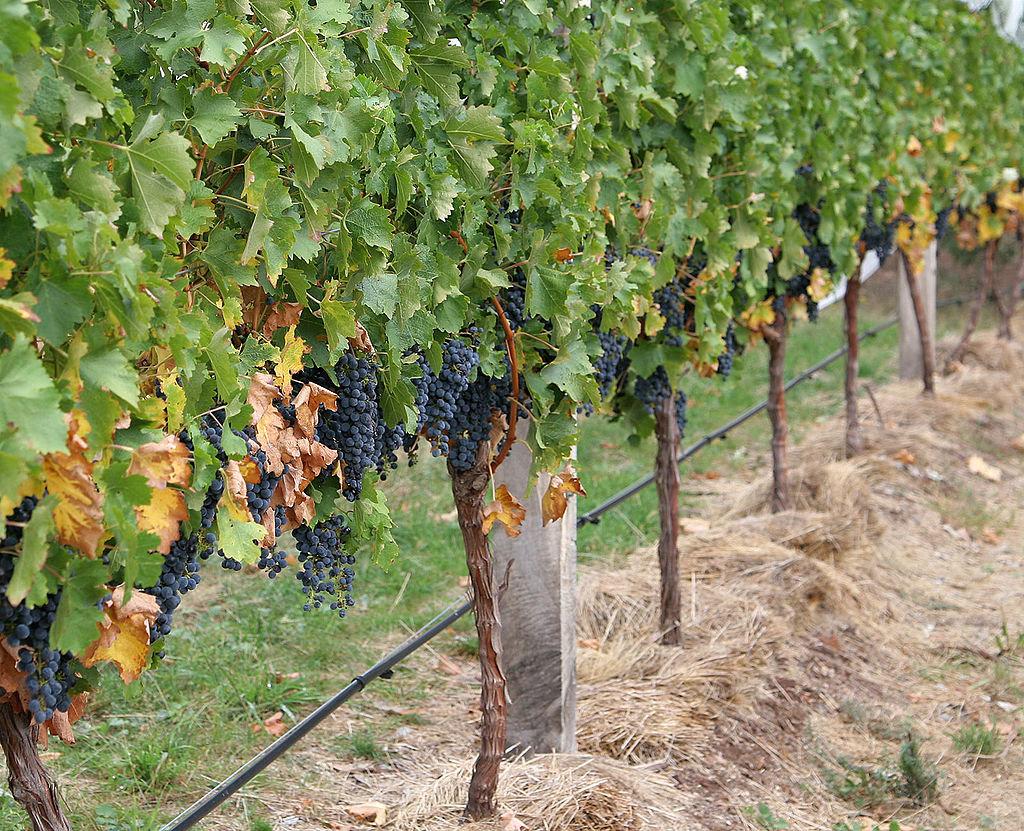 Выращивание винограда из года в год 160