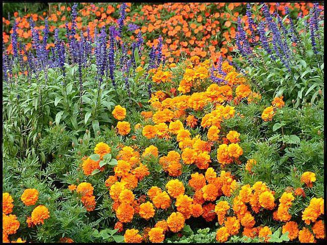 Цветы садовые однолетки