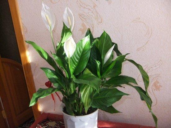 Женское счастье уход в домашних условиях фото желтеет цветок