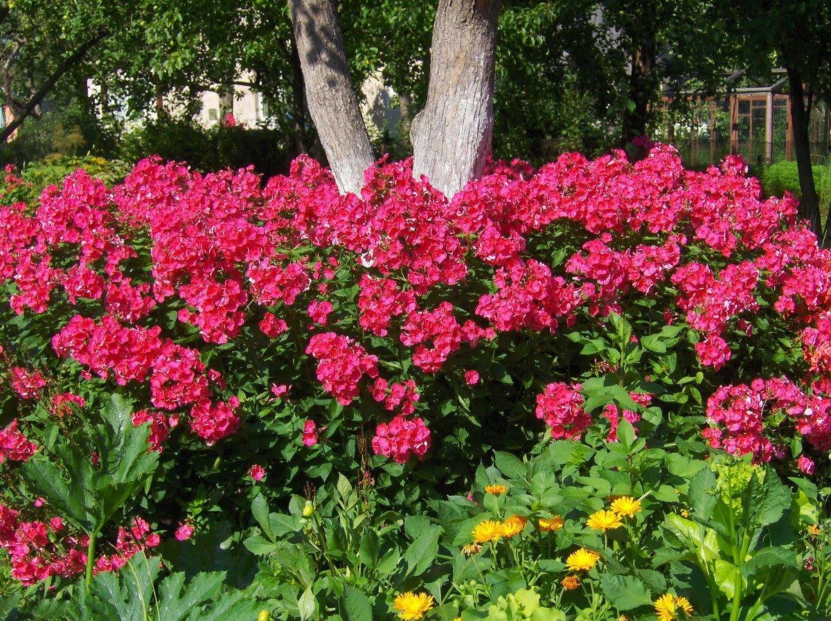 Советы садоводам: когда сажать флоксы Флоксы многолетние - посадка