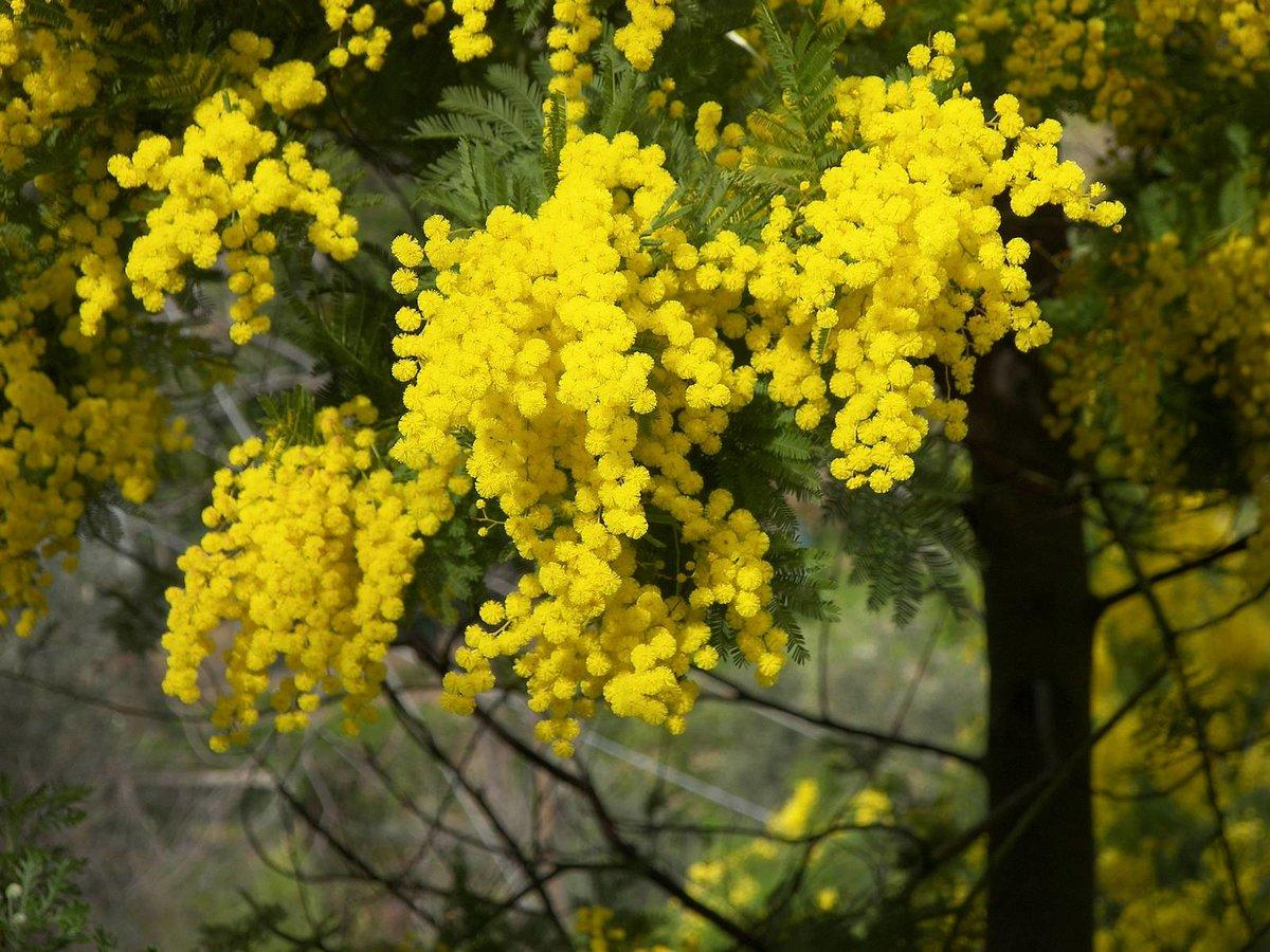 Цветы мимоза многолетняя фото