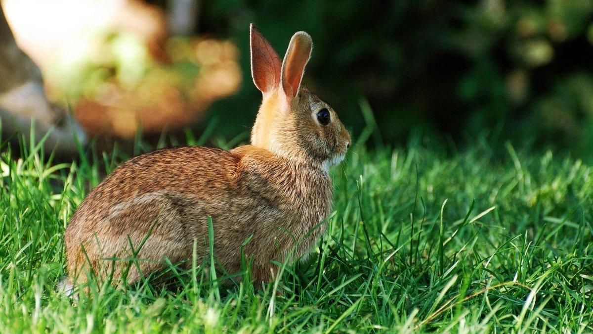 природа животное кролик  № 1593126 загрузить