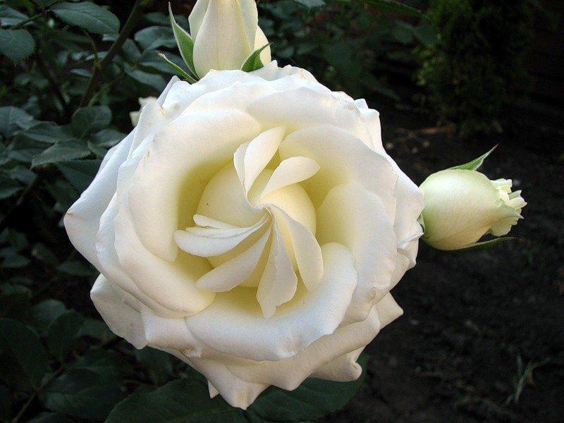 Роза белая цветок сорта