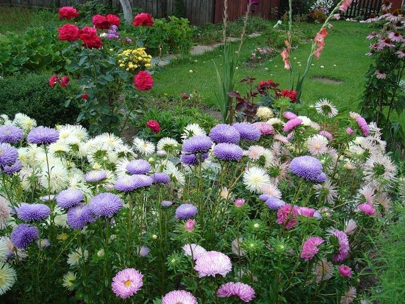 Астра в саду посадка и уход