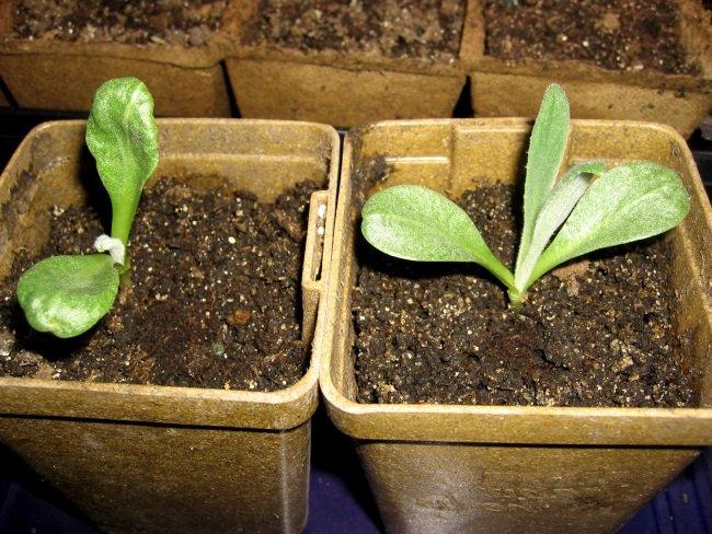 Как вырастить рассаду артишока 60