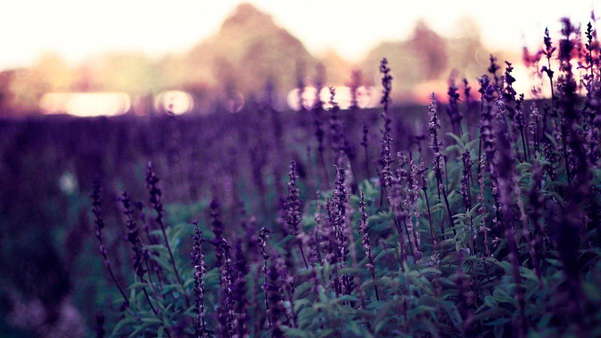 Цветы природа лаванда  № 1352103 без смс