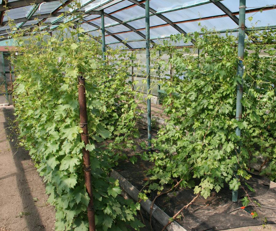 Виноград технология выращивания 74