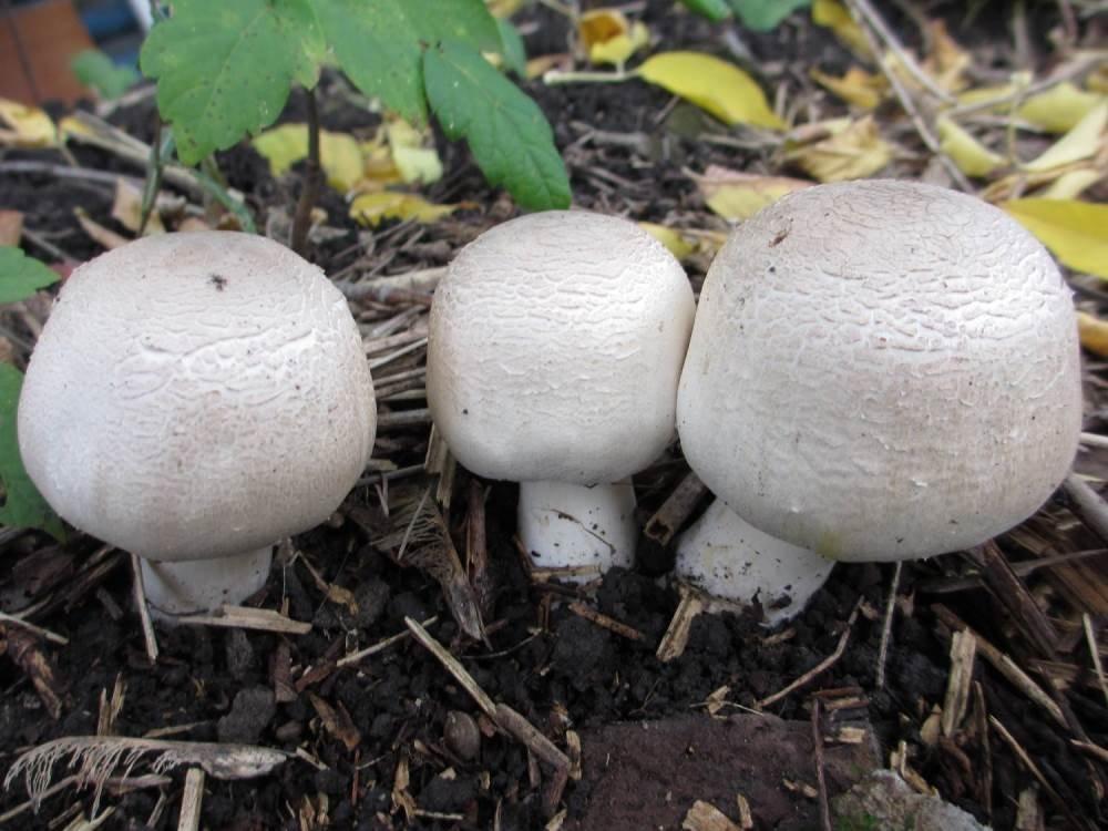 Выращивание грибов на грядке 75