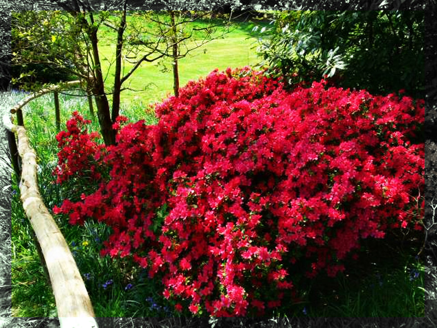 Выращивание и уход за азалией садовой