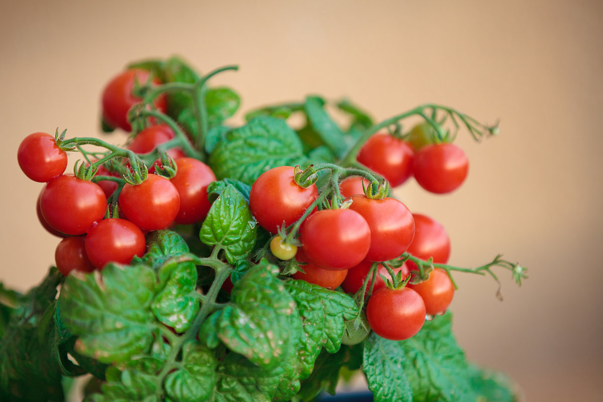 Выращивание томатов на подоконнике зимой Посадка и уход за 87