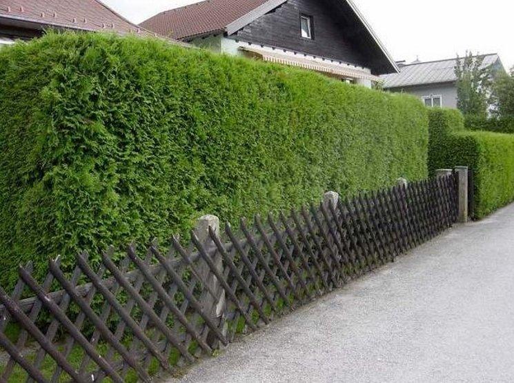 Быстрорастущая живая изгородь на даче своими руками какие растения фото 41