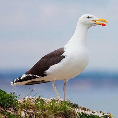 чайка-поморник фото