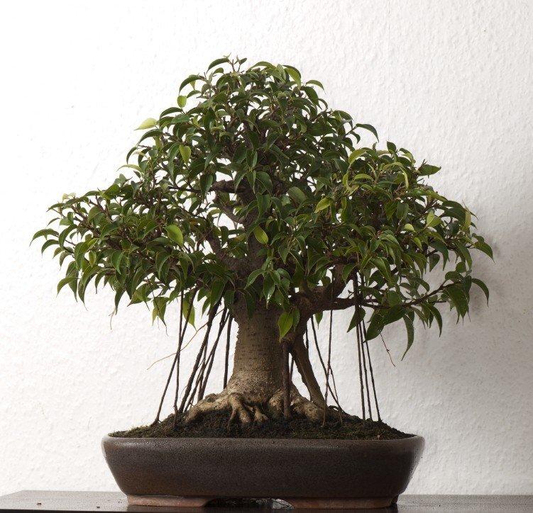 Как из фикуса сделать дерево 199