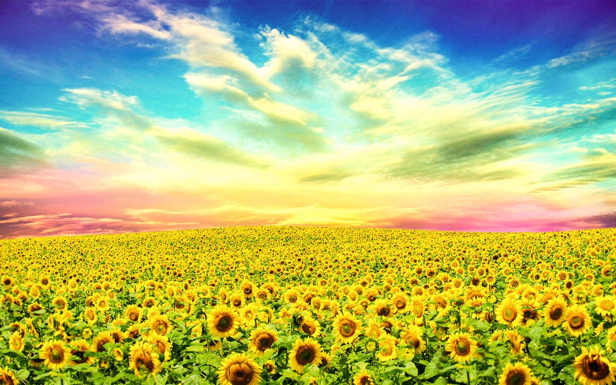 подсолнухи поле sunflowers field  № 419192 бесплатно