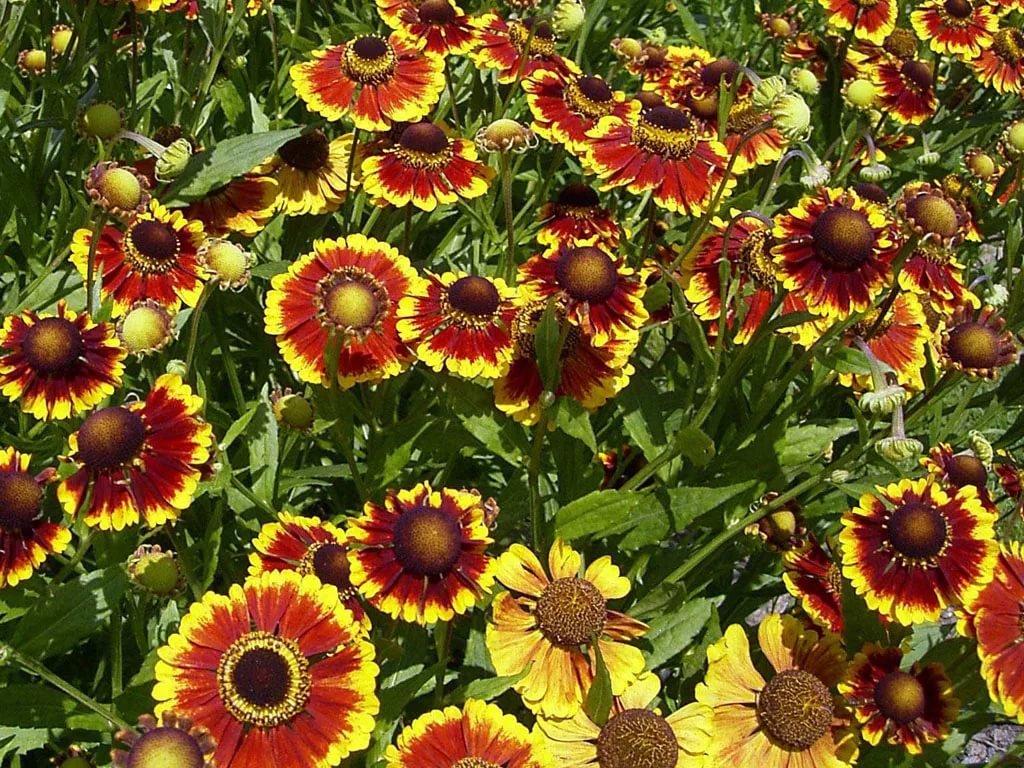 Однолетние цветы цветущие все лето без рассады название