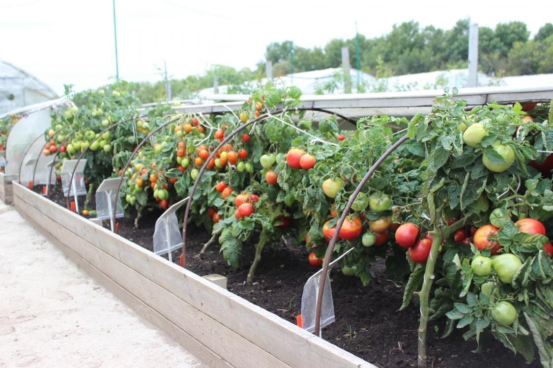 Можно ли уже сажать помидоры 423