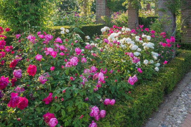 С чем сажать розы остина 70