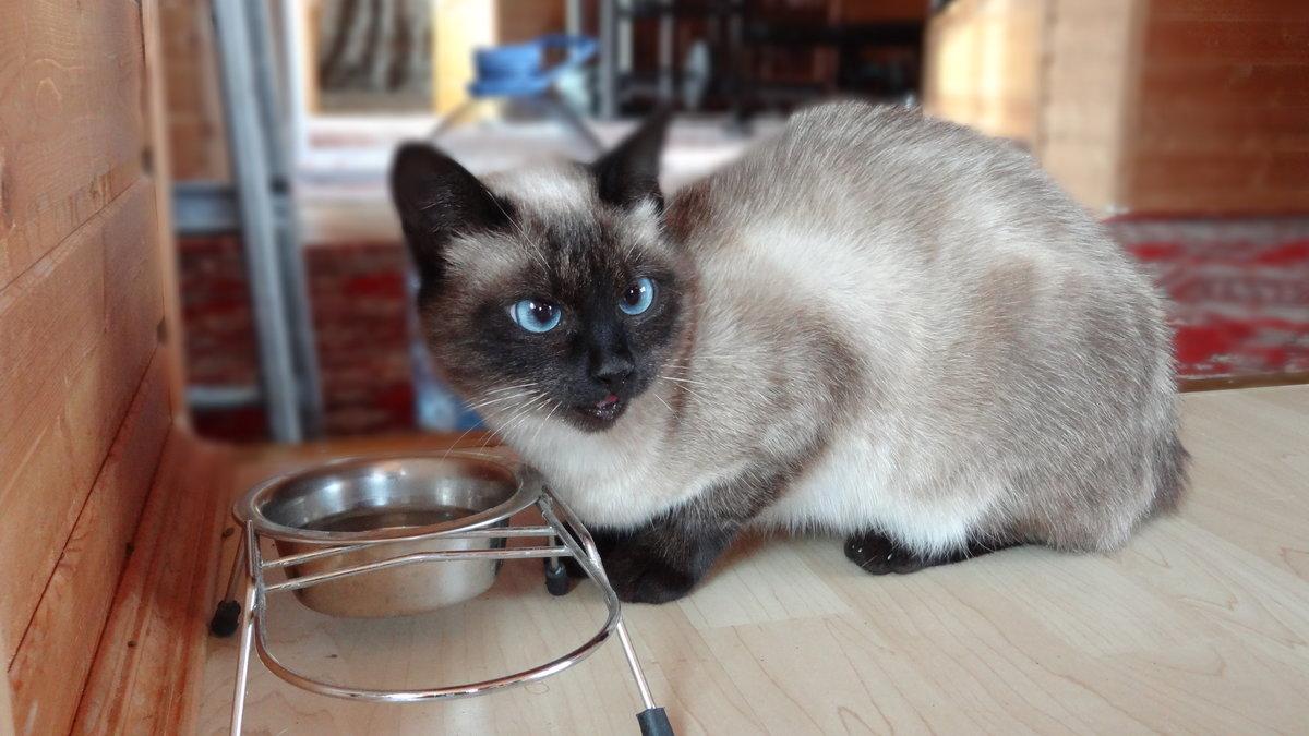 Сеамский кот  № 171589  скачать