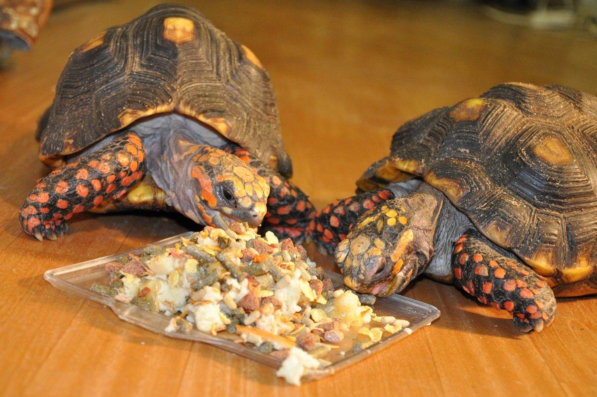 Кормление сухопутными черепахами в домашних условиях 777