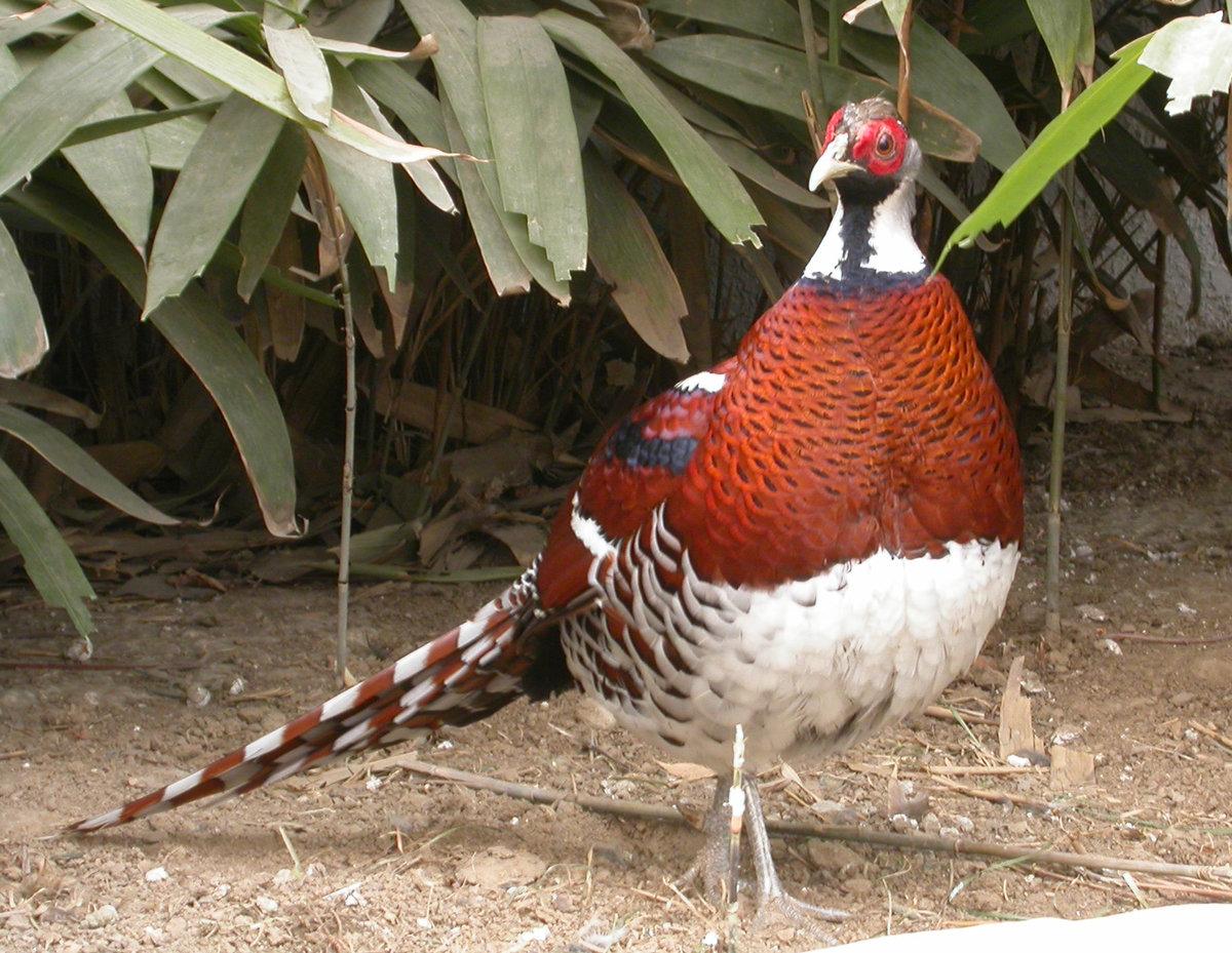 Условия содержания фазанов в домашних условиях