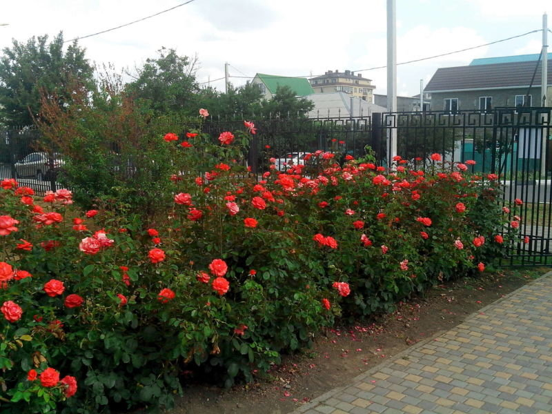 Розарий на даче своими руками фото садовый  276