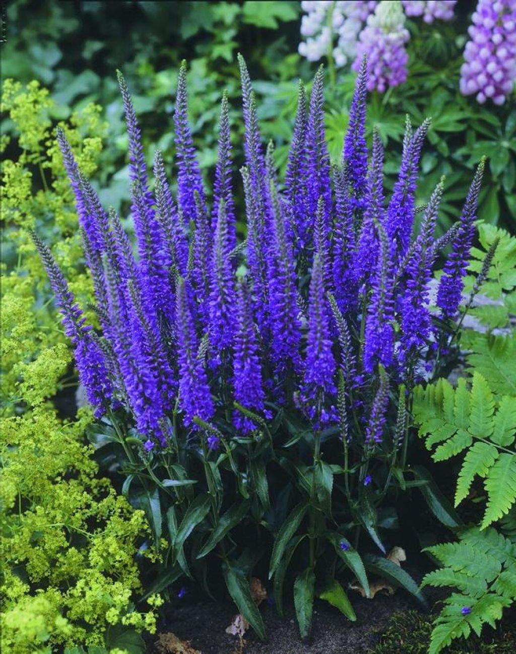 Цветок вероника садовый