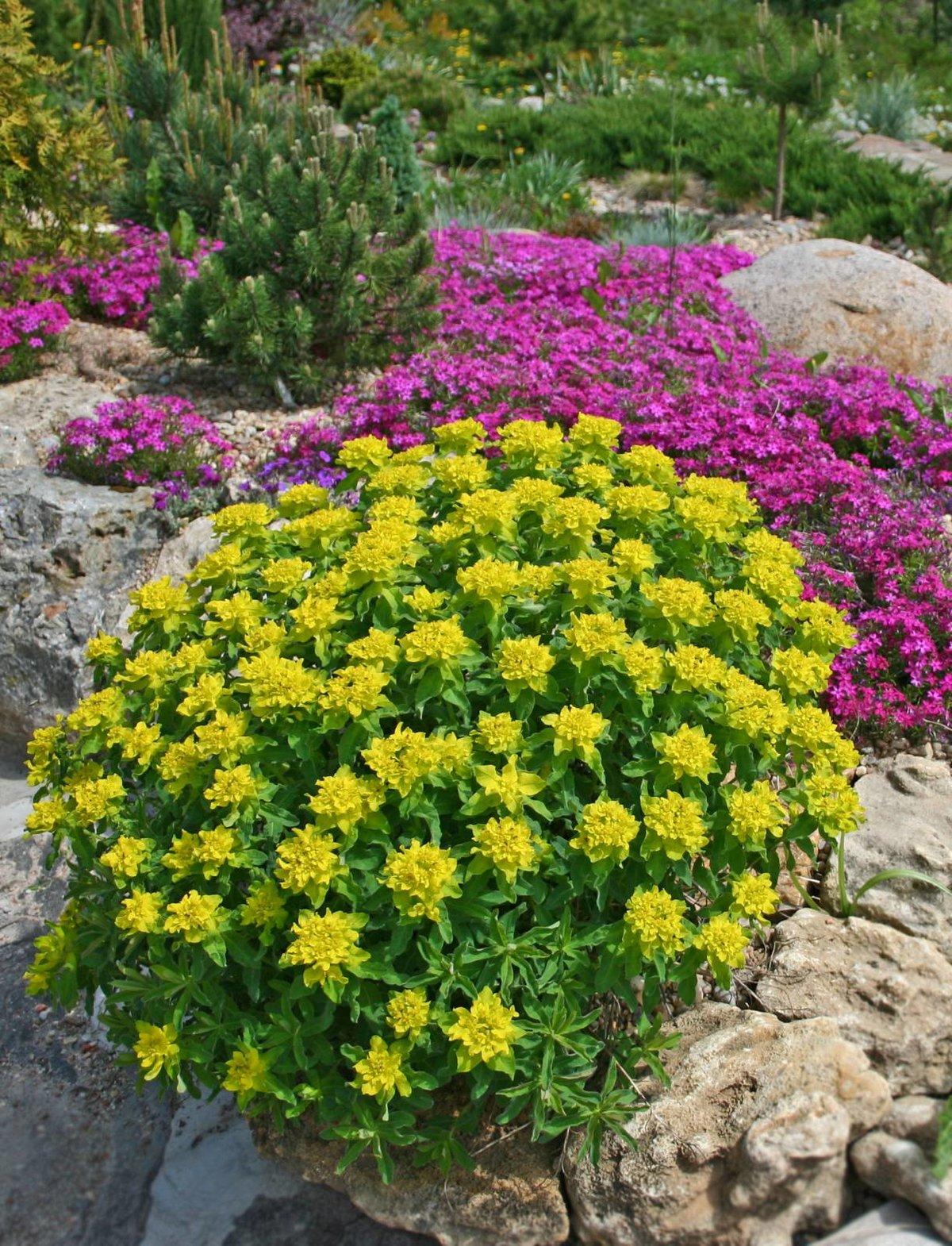 Альпийская горка растения и цветы фото и название