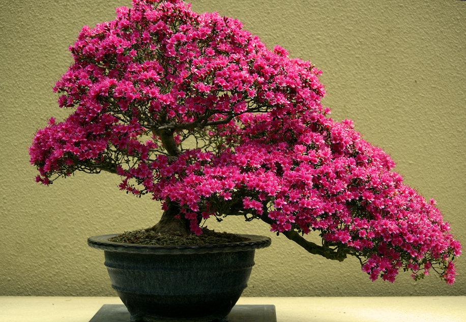 Декоративная сакура выращивание дома 91