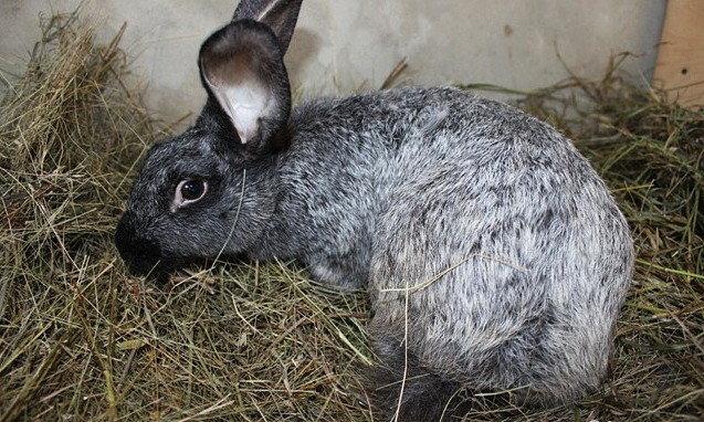 Мастит у кроликов - серьезное заболевание, при котором жизни крольчихи угрожает серьезная опасность. Мастит у крольчихи. У некот