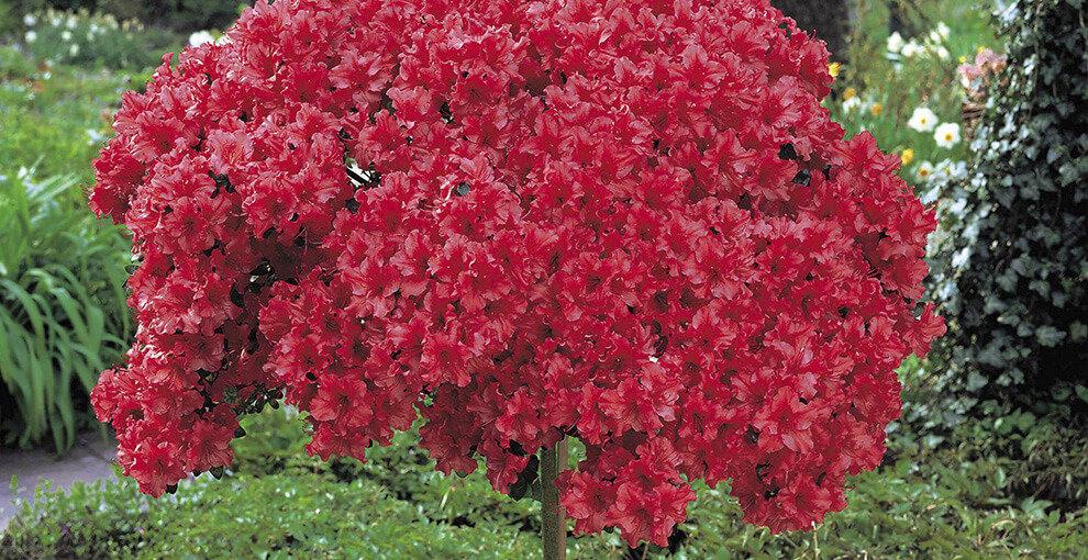 Азалия садовая цветов