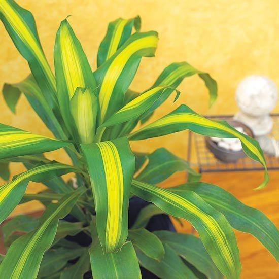 кукурузная пальма фото