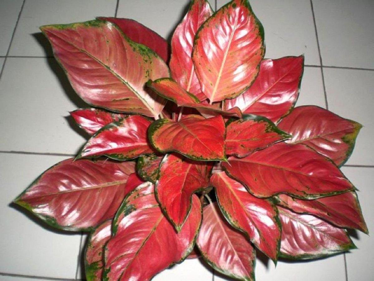 Цветок с зелено красными листьями фото