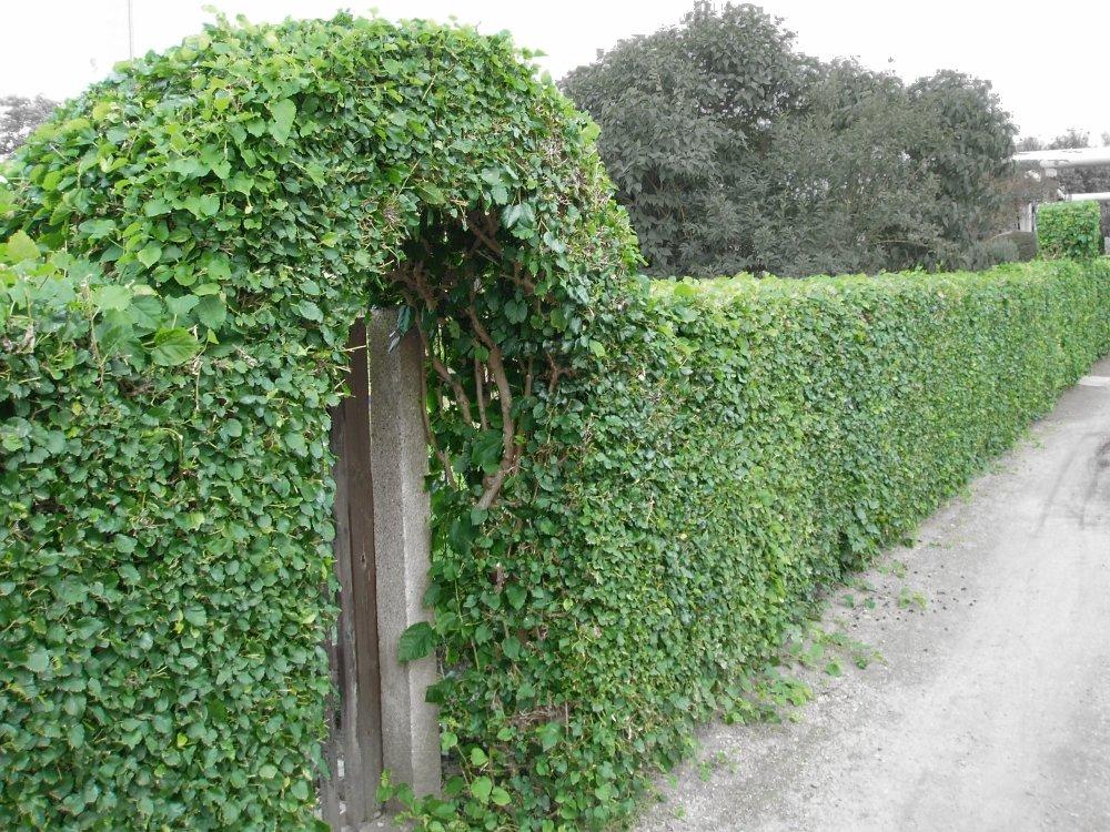 Когда сажать девичий виноград на даче 6