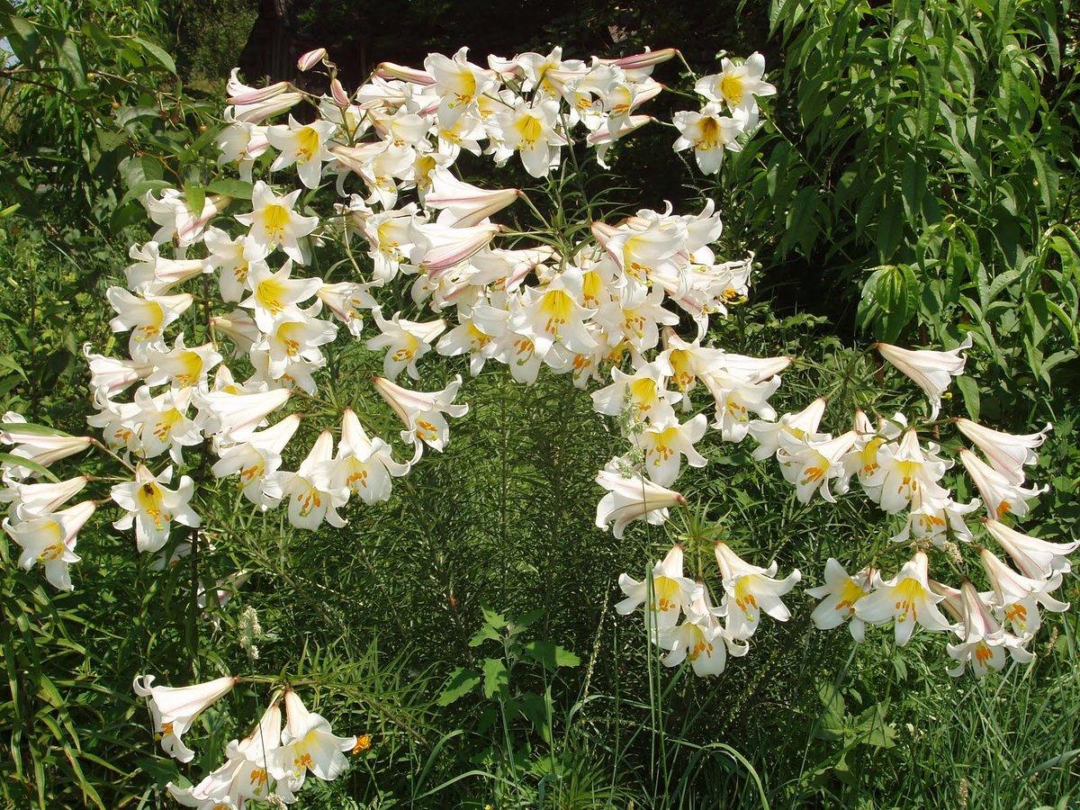Выращивание лилий в открытом грунте: описание, посадка весной и уход за 67
