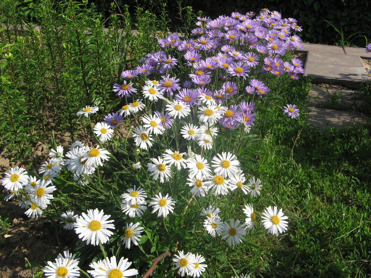Лечебные комнатные растения, домашние лекарственные растения 38