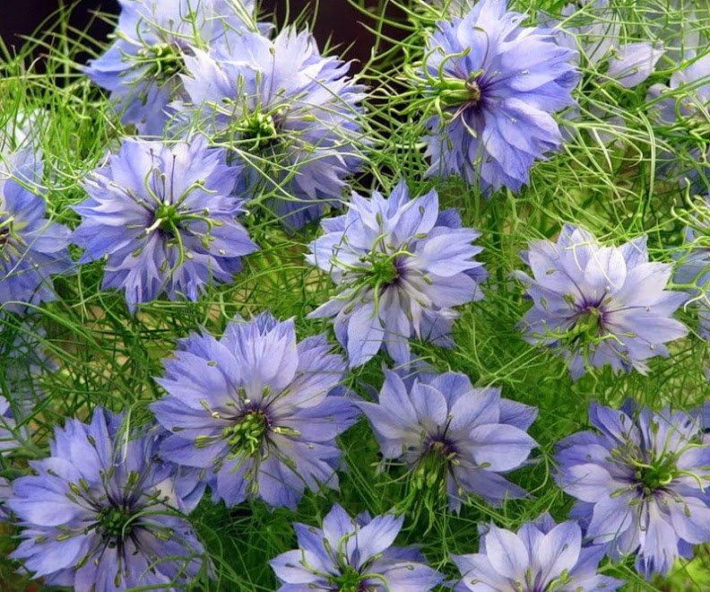 Нигелла альбина выращивание из семян 25