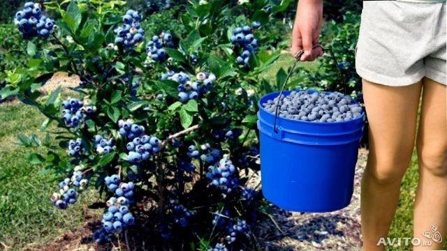 Производственное выращивание черники 85