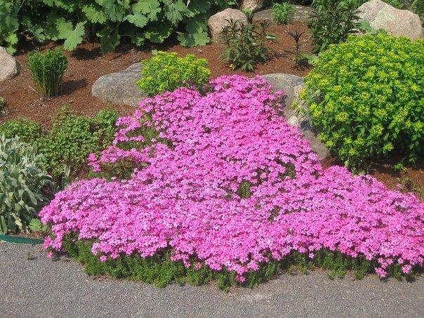 Как сажать почвопокровные цветы 96