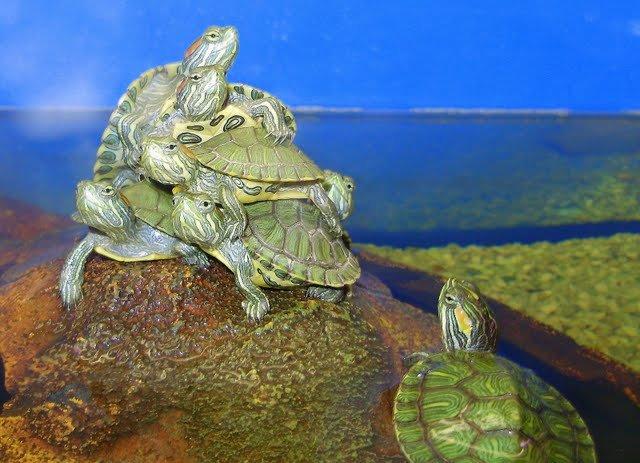 Как живут водяные черепахи в домашних условиях 841