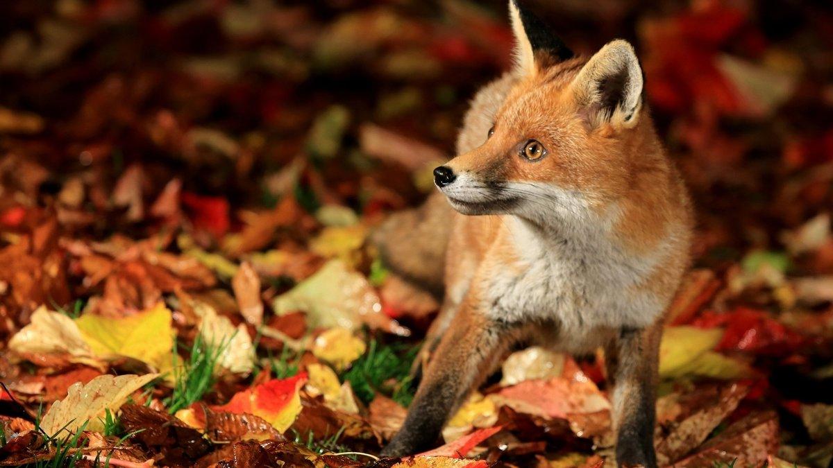 Комплект Осенний лис