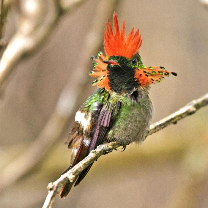 Особой красотой отличается птичка из этого семейства, которая за свою вычурную красоту получила название Украшенная кокетка (Lop