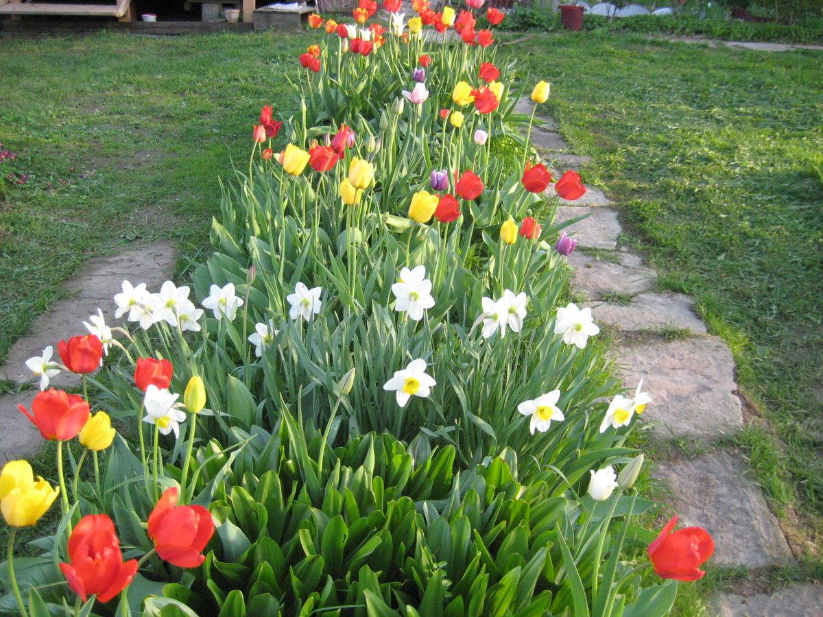 Клумба из тюльпанов своими руками на даче фото 61