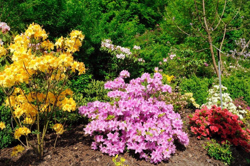 Азалия многолетняя садовая выращивание и уход фото 51