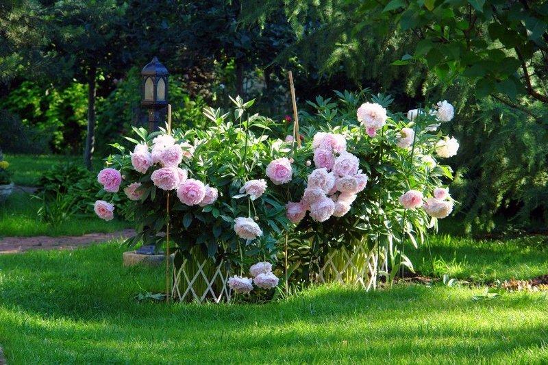Пионы в ландшафтном дизайне сада