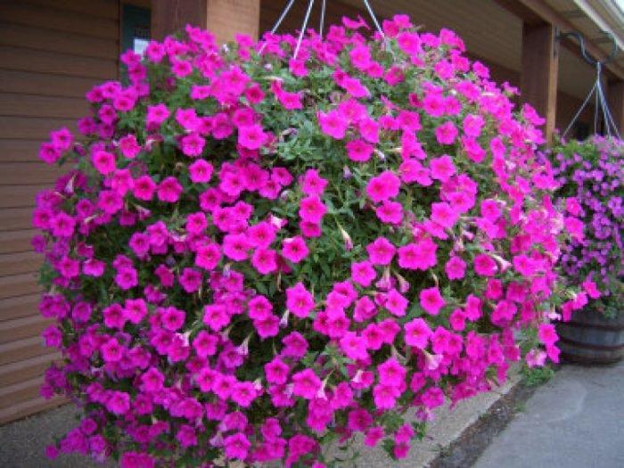 Любелия цветы