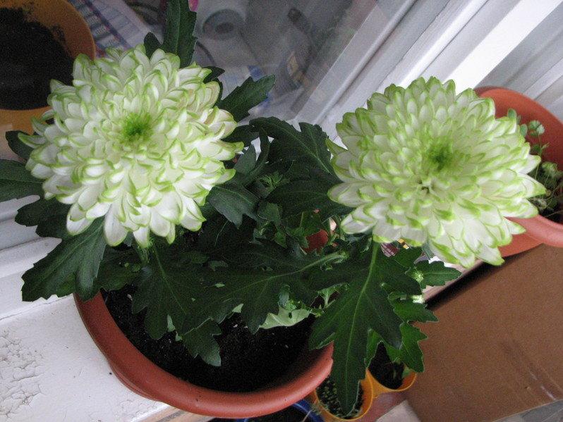 Хризантема выращивание в горшках